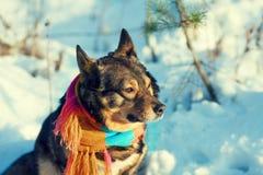 Σκυλί με το πλεκτό μαντίλι Στοκ Εικόνες