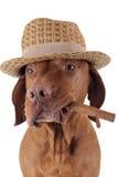 Σκυλί με το πούρο στο στόμα Στοκ εικόνες με δικαίωμα ελεύθερης χρήσης