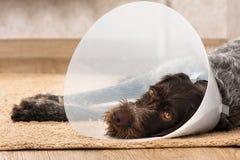 Σκυλί με το elizabethan περιλαίμιο στοκ εικόνα με δικαίωμα ελεύθερης χρήσης