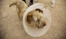 Σκυλί με το elizabethan περιλαίμιο στοκ εικόνες με δικαίωμα ελεύθερης χρήσης