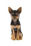 σκυλί μικρό Στοκ Φωτογραφία