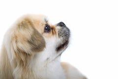 σκυλί μικρό Στοκ Εικόνα