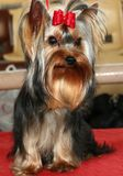 σκυλί μικρό στοκ φωτογραφία με δικαίωμα ελεύθερης χρήσης