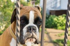 Σκυλί μπόξερ πίσω από το φράκτη Σλοβακία στοκ εικόνα