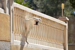 Σκυλί μπόξερ που κοιτάζει αδιάκριτα από το μπαλκόνι Στοκ Εικόνες