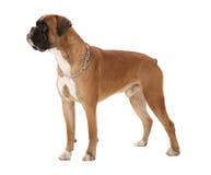 σκυλί μπόξερ Στοκ εικόνες με δικαίωμα ελεύθερης χρήσης