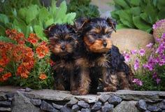 Σκυλί μωρών δύο griffon στον κήπο Στοκ φωτογραφίες με δικαίωμα ελεύθερης χρήσης