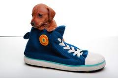 Σκυλί μωρών κουταβιών Dachshund στην μπότα ποιοτικού αθλητισμού στούντιο Στοκ Εικόνες
