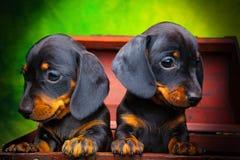 Σκυλί μωρών κουταβιών Dachshund στην ποιότητα στούντιο Στοκ Εικόνες