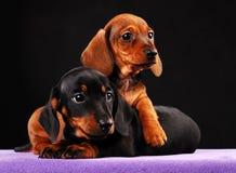 Σκυλί μωρών κουταβιών Dachshund στην ποιότητα στούντιο Στοκ εικόνα με δικαίωμα ελεύθερης χρήσης