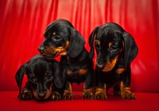 Σκυλί μωρών κουταβιών Dachshund στην ποιότητα στούντιο Στοκ Φωτογραφία