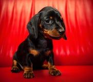 Σκυλί μωρών κουταβιών Dachshund στην ποιότητα στούντιο Στοκ φωτογραφίες με δικαίωμα ελεύθερης χρήσης