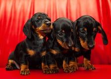Σκυλί μωρών κουταβιών Dachshund στην ποιότητα στούντιο Στοκ φωτογραφία με δικαίωμα ελεύθερης χρήσης