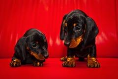 Σκυλί μωρών κουταβιών Dachshund στην ποιότητα στούντιο Στοκ Φωτογραφίες