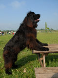 σκυλί νέα γη όρθια Στοκ φωτογραφία με δικαίωμα ελεύθερης χρήσης