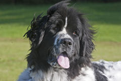 σκυλί νέα γη Στοκ Εικόνα