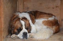 σκυλί νυσταλέο Στοκ εικόνες με δικαίωμα ελεύθερης χρήσης