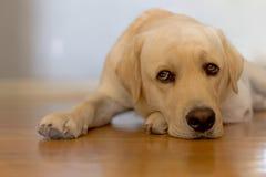 σκυλί νυσταλέο Στοκ Φωτογραφία