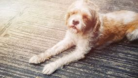 σκυλί παλαιό Στοκ Εικόνες