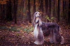 Σκυλί, πανέμορφο κυνηγόσκυλο, ολόκληρο πορτρέτο, στοκ εικόνες