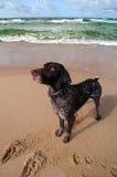 σκυλί παραλιών Στοκ φωτογραφίες με δικαίωμα ελεύθερης χρήσης