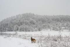 Σκυλί που απολαμβάνει τη χειμερινή σιωπή στοκ φωτογραφίες