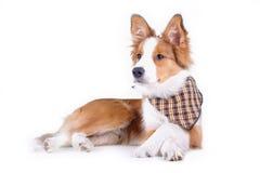σκυλί που απομονώνεται Στοκ εικόνα με δικαίωμα ελεύθερης χρήσης