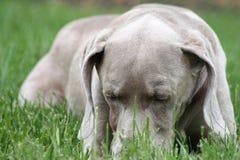 σκυλί που βάζει κάτω στοκ φωτογραφία με δικαίωμα ελεύθερης χρήσης