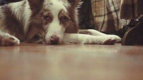 Σκυλί που βάζει σε ένα πάτωμα μετά από έναν περίπατο φιλμ μικρού μήκους