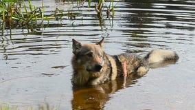Σκυλί που βάζει στο νερό απόθεμα βίντεο