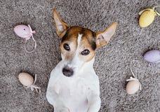 Σκυλί που βρίσκεται πίσω και που κάνει το μορφασμό προσώπου Στοκ εικόνα με δικαίωμα ελεύθερης χρήσης