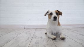 Σκυλί που βρίσκεται στο σπίτι απόθεμα βίντεο
