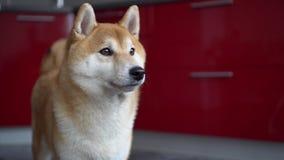Σκυλί που γλείφει τα χείλια του Φαίνεται διασκέδαση Το κατοικίδιο ζώο κοιτάζει γύρω, κατόπιν αφήνει το πλαίσιο απόθεμα βίντεο