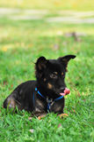 σκυλί που γλείφει τη γλώ& Στοκ Εικόνες