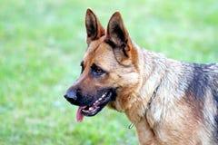 Σκυλί που εκπαιδεύει aport Στοκ Εικόνα