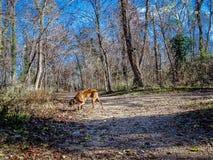 σκυλί που εξερευνά στο δάσος κατά τη διάρκεια του χειμώνα Στοκ Εικόνες