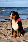σκυλί που θέτει Ελβετό Στοκ φωτογραφία με δικαίωμα ελεύθερης χρήσης