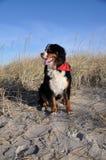 σκυλί που θέτει Ελβετό Στοκ εικόνα με δικαίωμα ελεύθερης χρήσης