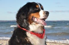 σκυλί που θέτει Ελβετό Στοκ Εικόνα