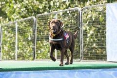 Σκυλί που ισορροπείται για να πηδήσει στη λίμνη στοκ φωτογραφίες με δικαίωμα ελεύθερης χρήσης