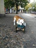 σκυλί που κουράζεται Στοκ φωτογραφία με δικαίωμα ελεύθερης χρήσης