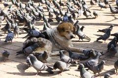 Σκυλί που ξαπλώνει με τα περιστέρια που ραμφίζουν την τροφή από τη γούνα του στοκ φωτογραφία με δικαίωμα ελεύθερης χρήσης