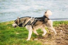 Σκυλί που οργανώνεται γεροδεμένο με το σκυλί-περιλαίμιο από τον ποταμό στοκ εικόνες
