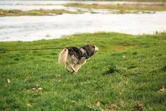 Σκυλί που οργανώνεται γεροδεμένο με το σκυλί-περιλαίμιο από τον ποταμό στοκ φωτογραφία με δικαίωμα ελεύθερης χρήσης