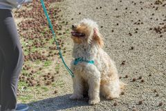 Σκυλί που περιμένει με τον ιδιοκτήτη του στοκ εικόνες