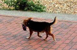 Σκυλί που περπατά με το μόλυβδο στο στόμα στοκ εικόνες με δικαίωμα ελεύθερης χρήσης