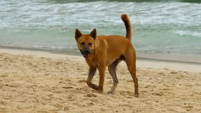 Σκυλί που περπατιέται στην παραλία