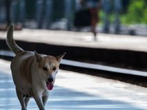 Σκυλί που περπατιέται στο σταθμό τρένου Στοκ Φωτογραφίες