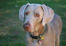 σκυλί που στέκεται weimaraner Στοκ Εικόνες