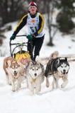 σκυλί που συναγωνίζεται donovaly το έλκηθρο Σλοβακία Στοκ φωτογραφίες με δικαίωμα ελεύθερης χρήσης